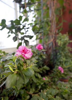 Praktfulla. Kameliorna är hållbara vackert blommande växter. I rabatten har de sällskap av Gunillas 19 år gamla azalea.