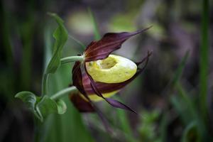 Guckuskon lockar in humlor i sin toffelformade läpp. Där inne finns ingen god nektar utan bara en hal väg ut. Humlan får snart ge upp och kravla ut genom en trång bakväg. Där får den med sig pollen.