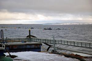 En kasse med 165 ton regnbågslax har gått sönder vid Slotts lax fiskodling i Mora.