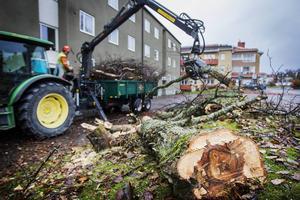 Under måndagen kapades oxlarna vid Mårtensgatan. Eftersom träden börjat ruttna blev fallrisken för stor.