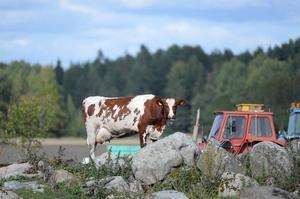 """""""Vi miljöpartister vill ge alla kor i hela EU samma rätt att beta ute som de svenska. Det är bättre för djuren, för alla som dricker mjölk och för samhället"""", skriver skribenterna."""
