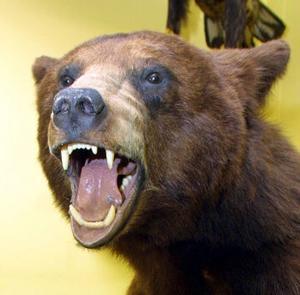 Konserverad björn.