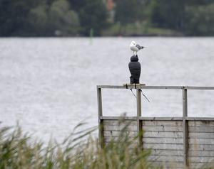 En gråtrut sitter på en konstgjord uggla. Ugglan är till för att skrämma bort andra fåglar. Fungerar inte så bra.