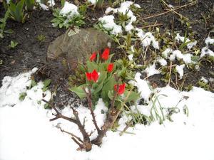 Äntligen fick vi se våra små minitulpaner blomma,detta år har inte hjortarna ätit upp dem. Blev en färgklick i den nyfallna snön morgonen den 22.4.2010.
