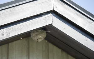 Getingbon sitter ofta på taknockar, farstukvistar eller vindar.