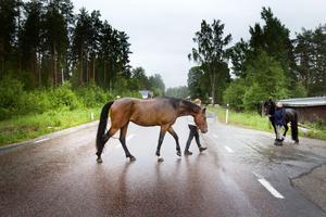 Flera gånger varje dag korsar hästarna från stallen i Rörberg väg 56.– Vi måste över vägen för att ta oss någonstans, säger Lena Sjöström.