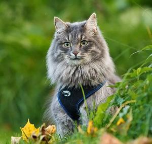 Viggo, sibirisk katt, 3 år. Ägare: Åsa Andersson, Falun.