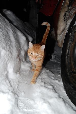 Inomhus katten Zimba tycker att det är roligt att vara ut i snön
