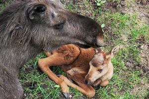 Älgen Etna och hennes kalv.