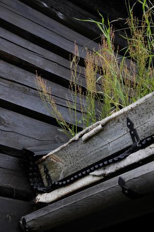 Torvtak enligt konstens alla regler med näver i botten. Och tack vare taken smälter husen fint in mot naturen runt omkring.