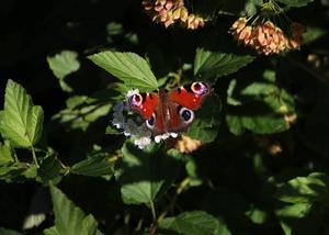 Påfågelöga - en färgklick i Vattenparken.