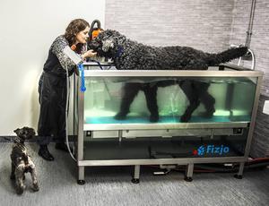 Den ryska svart terriern Zeus är 10,5 år och har artros i tå- och armbågslederna. Med sina 59 kilo tycker han att det är skönt att gå i vattentraskaren som nu finns hos Djurkompaniet i Birsta. Dvärgschnauzern Chaplin väntar på sin tur och matte Lena Gréus lotsar hundarna genom träningspassen.
