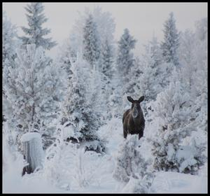 Han bor vackert men kallt skogens konung!Bilden är tagen efter vägen mot Svartsjöarna. Foto: Anette Mårtensson