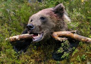 Fem björnar har fällts i Ånge kommun, och jakten är nu tillfälligt avlyst i jaktområde två.