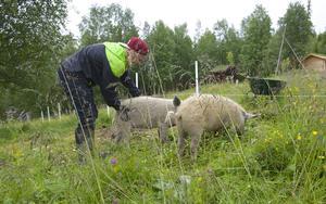 Emil Bertilsson och hans ungerska ullgrisar Doris och Helga uppe på Åsen i Funäsdalen.