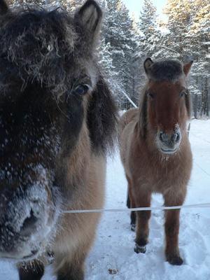 Mina hästar som har snö på mulen. Foto: Hanna Westfält