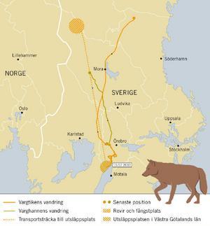 Så här har flyttvargarna rört sig efter utsläppet i Västra götaland.