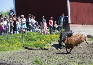 """På åtta gårdar i Västernorrland samarbetar bönderna med Arla och Norrmejerier om """"kosläppen""""."""