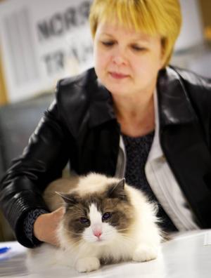 Eiriks Vercace, 2 år av rasen ragdoll, vann sitt internationella certifikat under helgen. Här blir hon bedömd av domaren Jaana Jyrkinen.