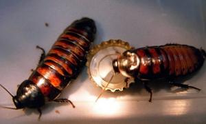 Kackerlackor.Semestern är ett ypperligt tillfälle för skadedjur att ostört växa till sig i kvarlämnade mjölpåsar och müsliförpackningar. Även om just kackerlackan tillhör den mer ovanliga sortens skadedjur i våra svenska skafferier.