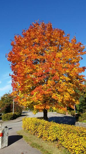 Hallstahammar träd. Foto lena lahti.