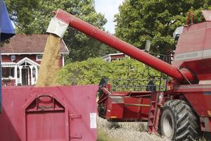 Tömning. Skördetröskan tömmer ut sin last. Erik Holmberg uppskattar att årets skörd ger mellan 7-8 ton vete per hektar.