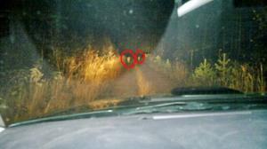 Här är de två vargarna som ställde sig framför bilen.