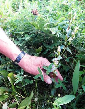 Fältgentiana är en växt som trivs på slåtterängar. Den här växer på Storåkersbacken på Iggön.