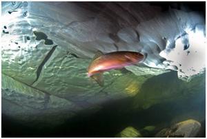 De djärva rödingar som kom emot dykarna i Bjurälvens grottor kan bidra med unika biologiska kunskaper.Foto:  Mikael Tilja