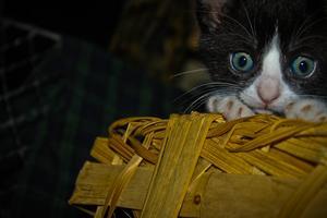 Kattungen ligger i en korg och smyger fram..