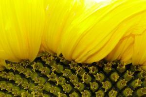 Bilden på min stora solros (när den blommade som vackrast)är tagen hemma i Västerås. Solrosen har en diameter på ca 25 cm. Det blev en intressant vinkel att fotografera solrosens kant där man kan se både kärnhuset och de gula bladen.
