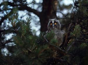 Hornuggla i Fiby urskog utanför Uppsala. Foto: Mattias Klum