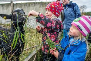 Getterna på Torsta var inte direkt svårflörtade när skördefestbesökarna kom för att klappa och – framför allt – mata dem. Adina Ringqvist från Lit och Nora Svingen från Östersund hade fullt upp med att plocka gräs för att hinna med.