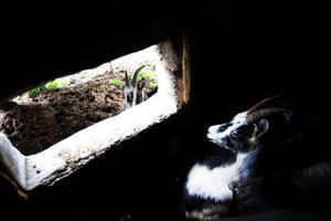 Getterna gömmer sig undan regnet. 40 mjölkgetter och lika många killingar lever fritt på sommaren i Östra Arådalen.