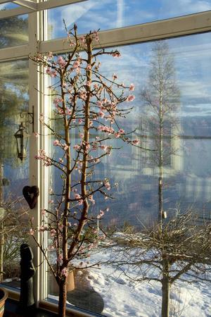Persikoträdet planterades för fem år sedan, i fjol blev skörden så stor att de inte hann äta upp allt.