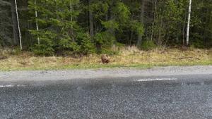 Björnen verkar orädd och bryr sig inte om att den har fått mycket publik.