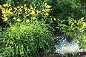 Här syns gula dagliljor, de små vita blommorna kallas för silverarv.
