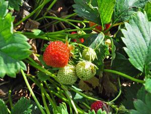 De flesta jordgubbarna är redan mogen eller på väg att bli övermogen, men än är det några dagar kvar på säsongen.