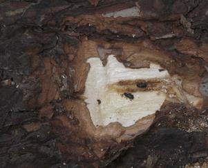 Vilka trädsvampar kan kopplas till större märgborre? SLU. Studien har ett tredelat syfte: 1. Vilka svampar har större märgborre med sig då flygningen startar om våren? 2. Vilka svampar finns i innerbarken (som barkborrelarverna livnär sig av) på märgborreangripna tallar?3. Vilka svampar för den nya barkborregenerationen med sig då de kläcks ur virket senare under sommaren?Studien beräknas avslutas under 2016.