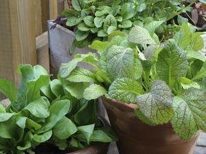 Låt inte ytan hindra. Det går utmärkt att odla för husbehov i krukor på balkonger. Planera sådden nu.