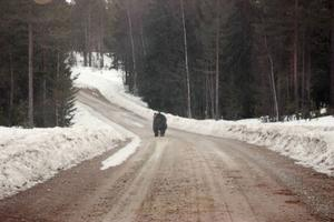 Den här björnen fotade Gunnar Fredriksson från Kårböle tisdagen den 23 mars strax utanför Mosätt.