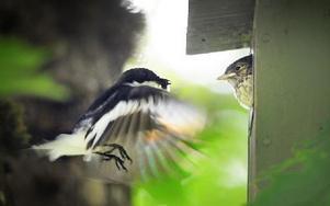 Svartvita flugsnapparhannen frestar med mygg. Foto: Staffan Björklund