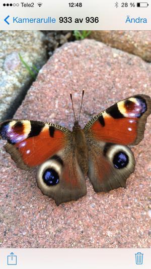 Nu är våren här! En alldeles nykläckt fjäril!