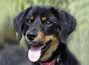 Hunden attraheras av glykolen och kan inte motstå att slicka i sig den. När det väl hänt är det bråttom om hundens liv ska kunna räddas. (Det är inte hunden på bilden som drabbades av förgiftningen.)