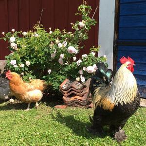 De första som möter upp hemma hos Elisabett och Mats är tuppen och hönorna.