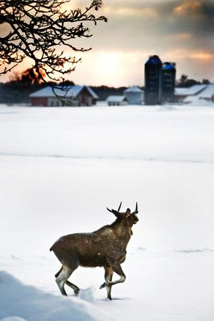 En älg alldeles bredvid vägen mot Kävesta fångad av NA:s fotograf Per Knutsson.
