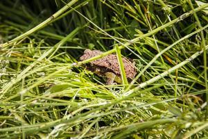 En liten padda undrar var gräset tog vägen.