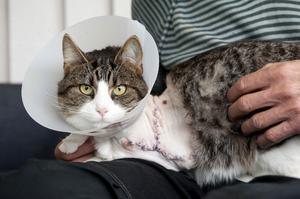 Katten Zeke är hemma i gen efter operationen på Falu Djursjukhus. Hela vänster framben är amputerat, då det anses lättare för katten att träna upp sig på tre ben om hela benet tas bort än om det lämnas kvar en liten stump.