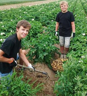 Robin Haapala Silfver har handplockat potatisen i Brovallen i Avesta, som han sedan har packat i påsar och sålt. Här får han hjälp av lillebror Melwin.