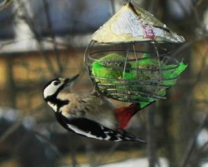 Har ett rikt fågelliv utanför balkongen där jag bor. Här är det en hackspett som förser sig vid middagsbordet.